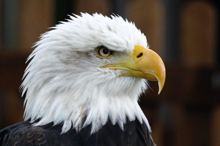 Орел - снимка